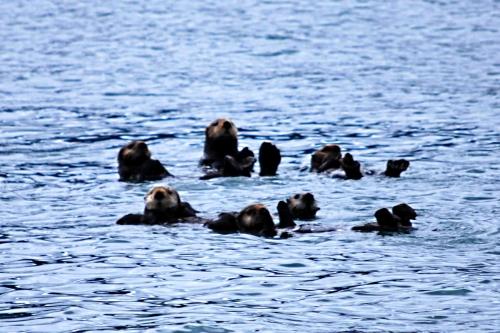 Alaska otters Seldovia