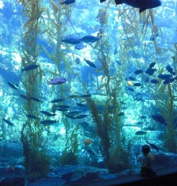 Birch Aquarium's Kelp Tank in the Hall of Fishes