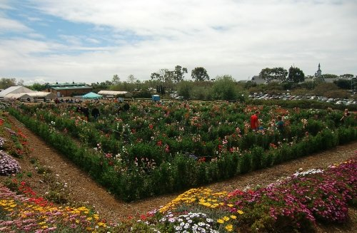 Carlsbad Flower Fields Sweet Pea Maze at Carlsbad Flower Fields