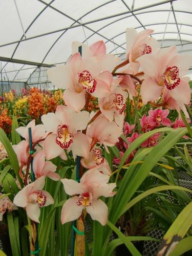 Carlsbad Flower Fields orchids