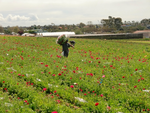 Carlsbad Flower Fields ranunculas