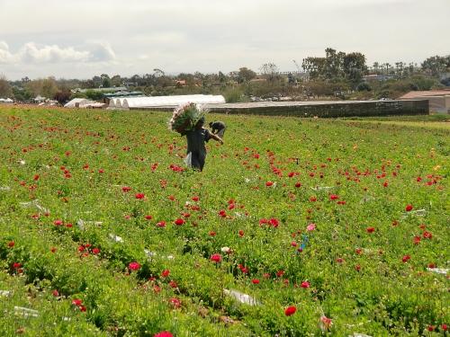 Carlsbad Flower Fields ranunculas