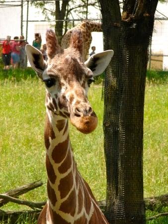 blank park zoo giraffe