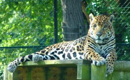 Leopard at Dublin Zoo