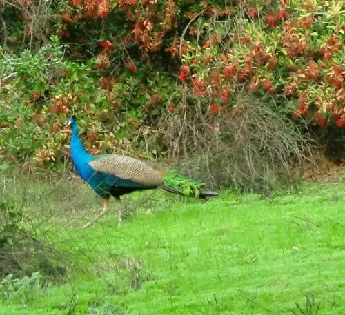 Peacock at Irvine Regional Park