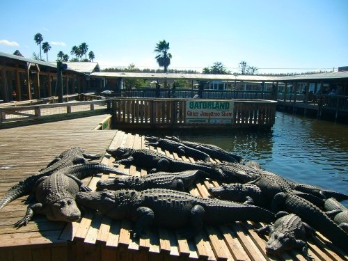 Florida alligators at Gatorland