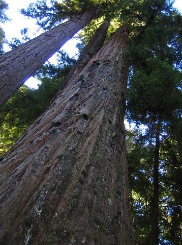 Redwood Tree in Pfeiffer State Park in Big Sur, California