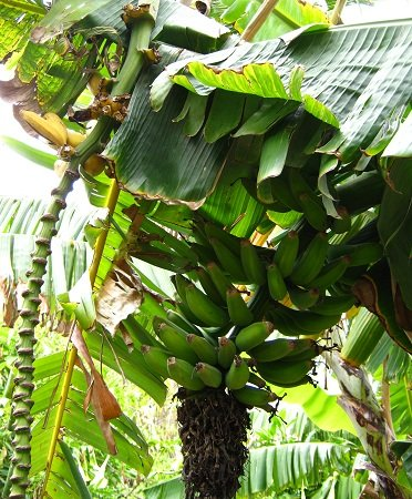 A bunch of bananas growing in the Subtropical Fruit Garden