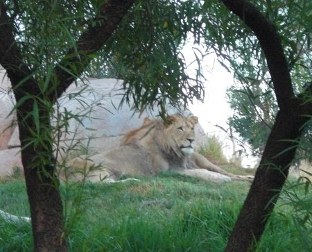 Campers sleeping near the lion enclosure may wake to the roaring of these huge cats in the morning at the San Diego Zoo Safari Park Roar and Snore