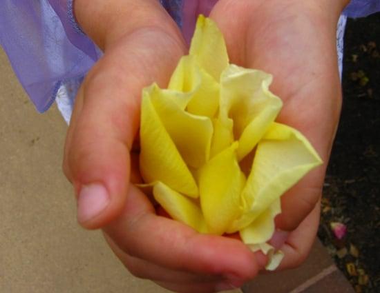 Rose Petals in Balboa Park Rose Garden in San Diego