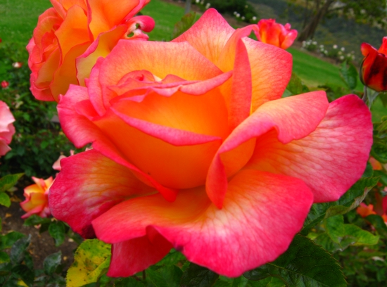 Sheila's Perfume Rose in Balboa Park Rose Garden in San Diego