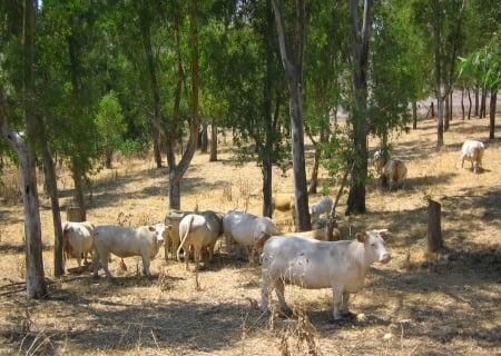 Sicilian Cows