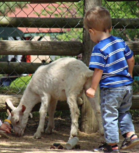 Feeding goats at Grant's Farm in St. Louis, Missouri with kids