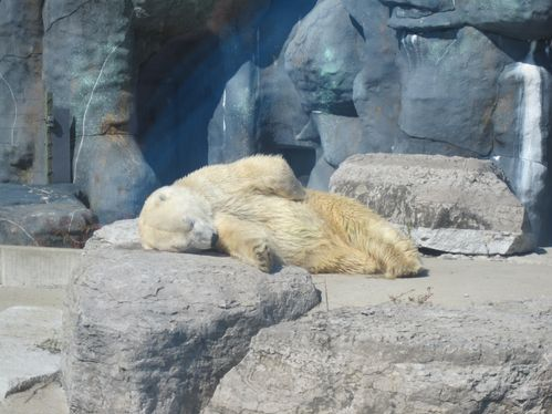 Sleeping polar bear at the Toronto Zoo - Attractions for Families