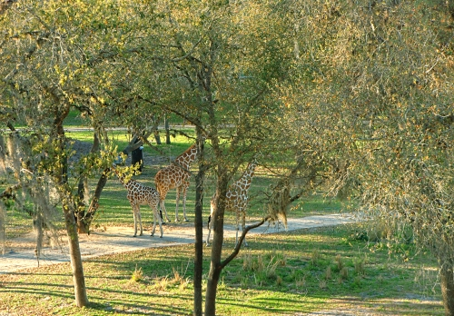 Giraffes at Disney's Animal Kingdom Lodge & Villas