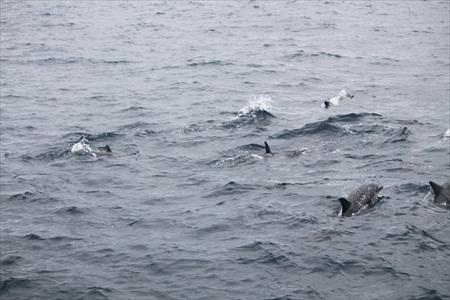 Dana Point dolphins