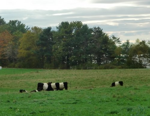 Belted Galloway cows at Wolfe's Neck Farm in Freeport, Maine