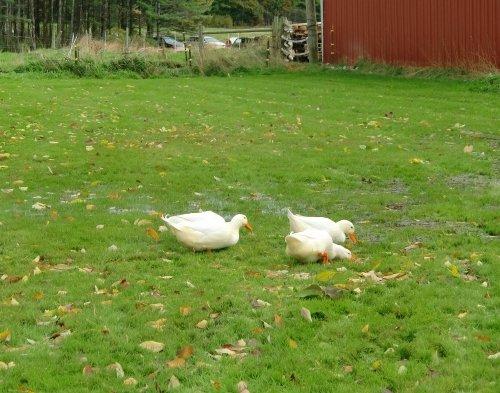 Ducks at Wolfe's Neck Farm in Freeport, Maine