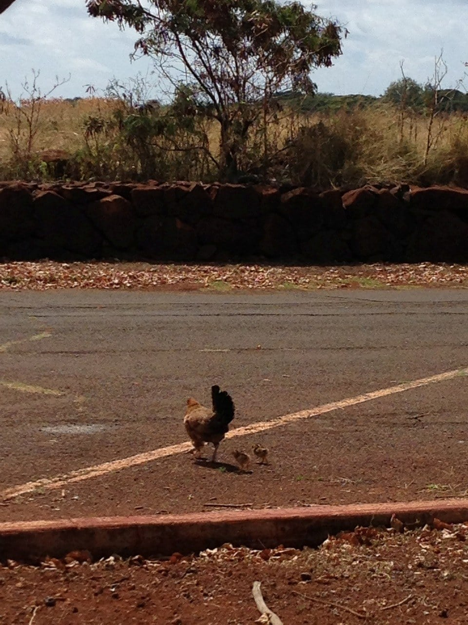 Yes, those are chickens crossing the road.