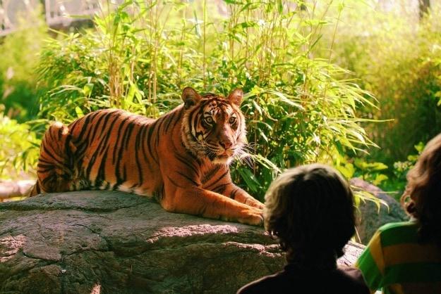 Tiger at Blijdorp Zoo