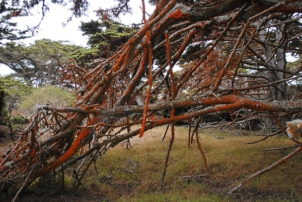 Orange moss on local trees helps to give Point Lobos State Reserve an otherworldly feel