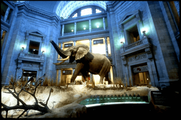 An African bull elephant greets visitors in the rotunda of the National Museum of Natural History