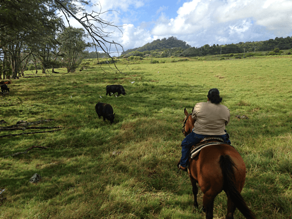 Riding through a pasture of mellow bulls