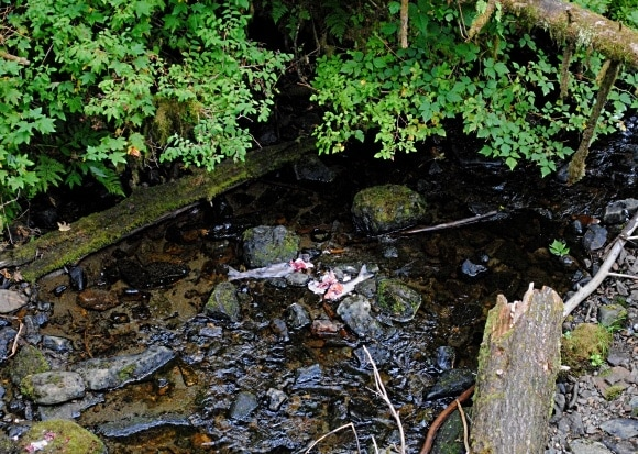 Salmon remains indicated black bears were nearby in Tongass National Forest