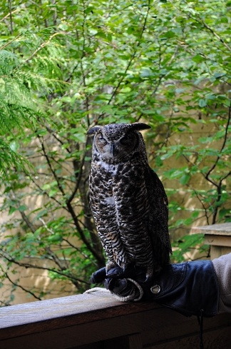 Rescued great horned owl in the Tongass National Forest near Ketchikan, Alaska