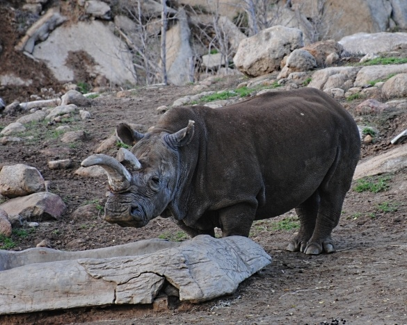 Soar over rhinos on the Flightline Safari at the San Diego Zoo Safari Park