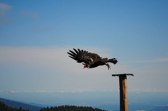 A turkey vulture takes flight during the Birds in Motion show