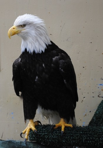 A live rescued bald eagle is on display at the Juneau Raptor Center