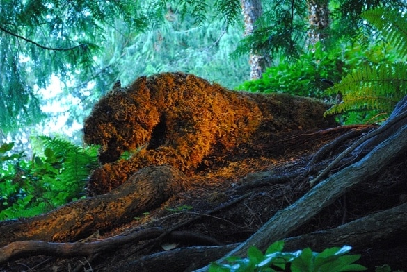 A living sculpture on the prowl at Butchart Gardens
