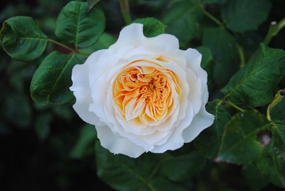 Swan Rose in the Rose Garden at Butchart Gardens