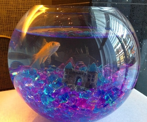 A temporary pet goldfish blowing bubbles at check-in
