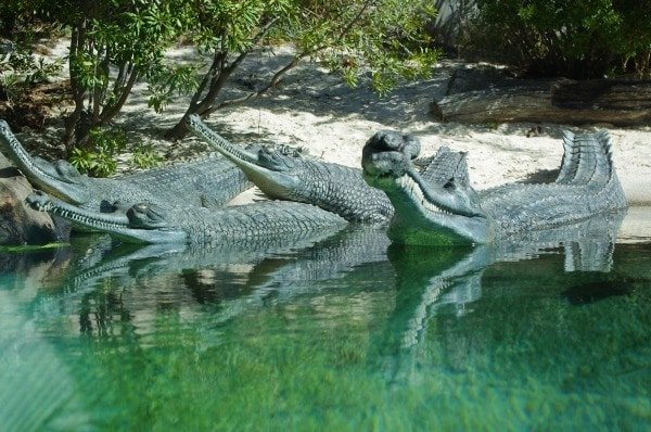 Gharials crocodiles at the Fort Worth Zoo