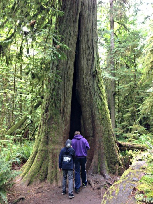 Walk among the giants at Cathedral Grove