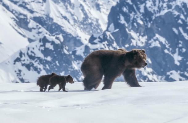 Life isn't always easy for bears