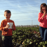 Strawberry Picking with Kids Near LEGOLAND California
