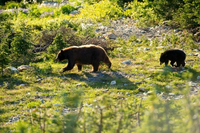 Black bear and cub on Whistler Mountain (Credit: Mike Crane)
