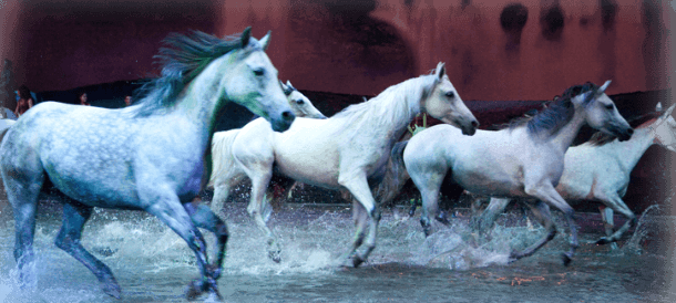 White horses in water