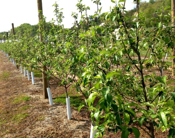 Apple trees used for making wine at the Apple Barn Winery in Sevierville, Tennessee