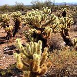 Sea of cholla cactus, Arizona