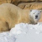 Journey to Churchill Polar Bear