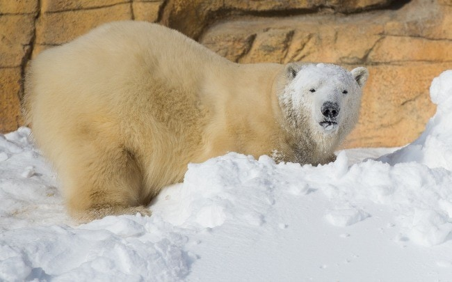 Rescued polar bears at Assiniboine Park Zoo in Winnipeg, Canada (Photo Credit: Assiniboine Park Conservancy)