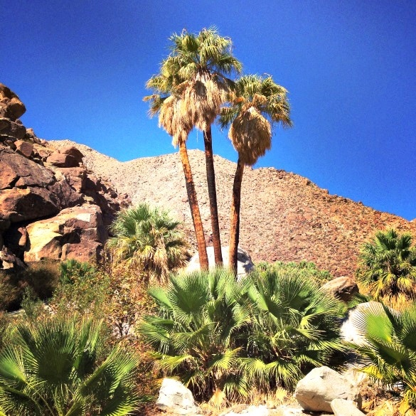 The Palm Oasis at the end of the Palm Canyon Trail in the Anza-Borrego Desert State Park (Photo credit: Colleen Lanin)