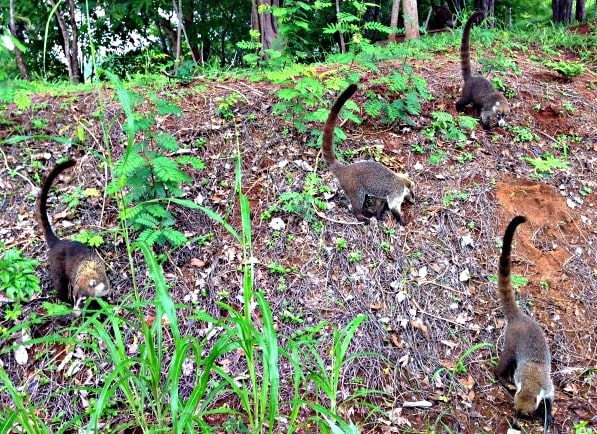 Coatis roam the Westin Playa Conchal grounds, but don't feed the animals! (Photo credit: Claudia Laroye)