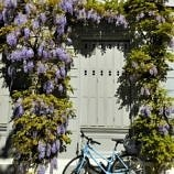 Wisteria blooming in romantic Basel, Switzerland