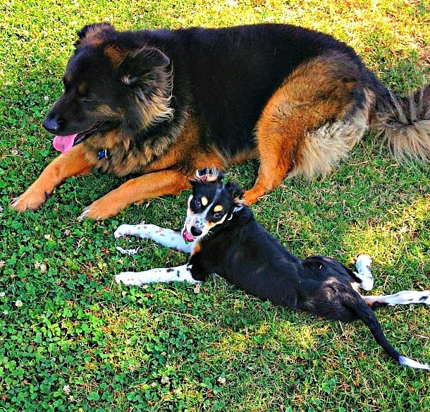 DogVacay makes it easy to find affordable, trustworthy pet sitters for dogs like my two lovable pets, Penny (the big one) and Pongo (the little guy) - Photo credit: Colleen Lanin