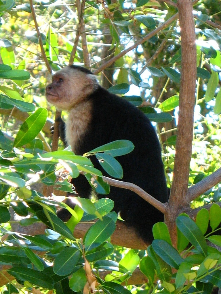White faced capuchin (Photo credit: Vislseskogen, Flickr Creative Commons 2.0)